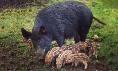 Bowland Wild Boar Animal Park